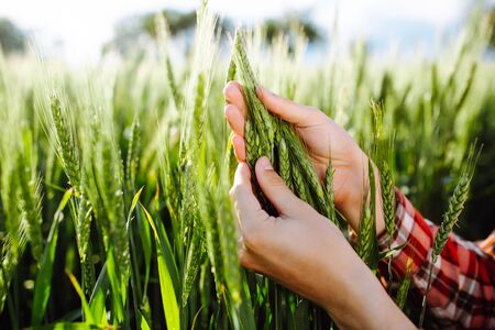 Photo pour Farmer touches the spikelets of young green wheat and checking the ripeness level of the harvest. Agronomist analyzes the growing grains on the field. Agricultural and farm concept - image libre de droit
