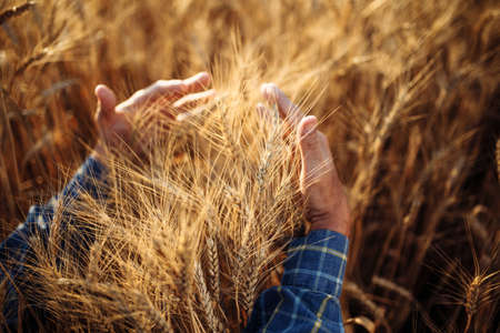 Photo pour Close up of a farmer wraps around a sheaf with his hands and checks the quality of the wheat ears on the field. Farm worker holds a few spikelets of new grain harvest. Agricultural concept - image libre de droit