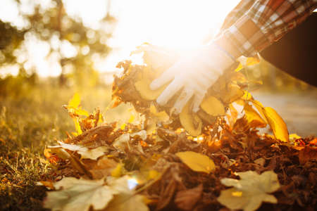 Photo pour Close up of a male volunteer collects and grabs a small pile of yellow red fallen leaves in the autumn park. Cleaning the lawn from the old leaves. Gardening and seasonal communal work concept - image libre de droit