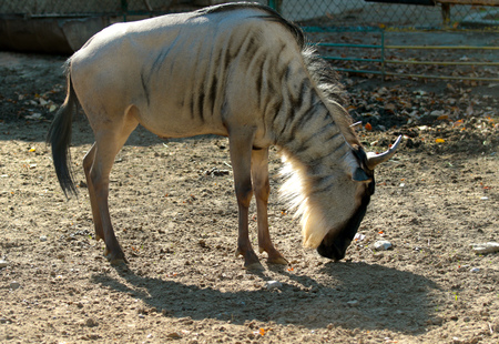 Blue wildebeest zoo