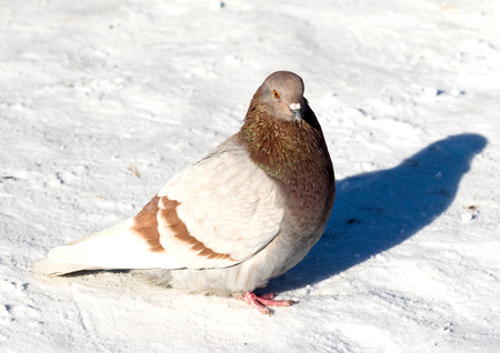 wild dove in the snow on the nature