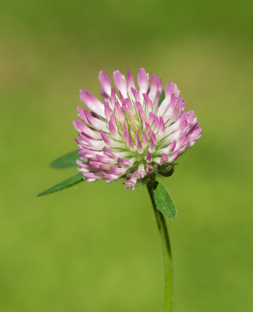 wildflower Trifolium natural landscape