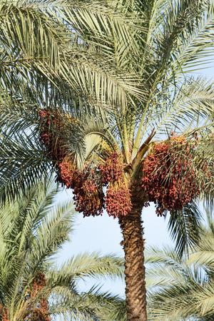 Foto de dates grow on a palm tree nature - Imagen libre de derechos