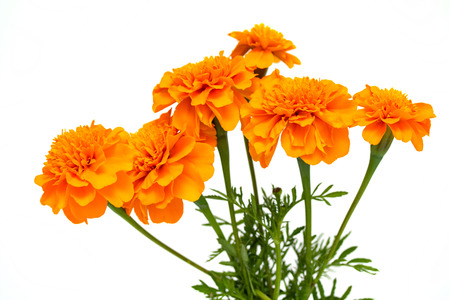 Photo for Tagetes of flowers isolated on white background - Royalty Free Image