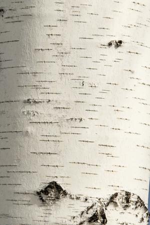 Foto de Texture of birch bark close-up. - Imagen libre de derechos