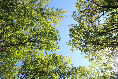 Photo for Green leaves of trees view from below against the blue sky, spring nature. - Royalty Free Image