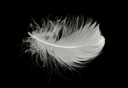 Photo pour White swan feather on a black background in the air. Abstract white feathers floating in the air. - image libre de droit