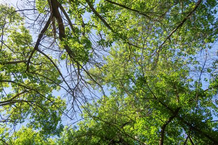 Photo pour Green leaves of trees view from below against the blue sky, spring nature. - image libre de droit