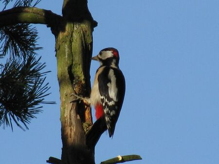Photo pour Great spotted woodpecker hammering on dry pine tree trunk - image libre de droit