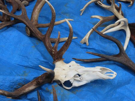 Photo pour Flea market merchandise out on street - red deer antlers and white skull on blue background, in Luxembourg - image libre de droit