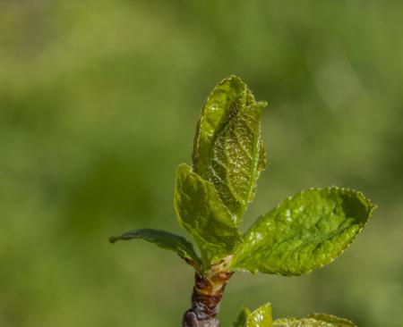 Foto für Young green leafs in spring color sunny nice day - Lizenzfreies Bild
