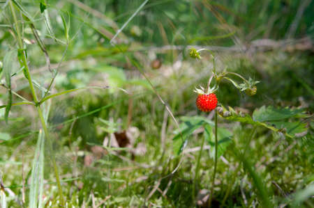Photo pour Wild strawberries in the grass. One berry on a bush. - image libre de droit