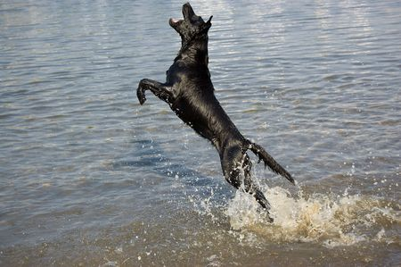 A black dog jumping at the lakeside
