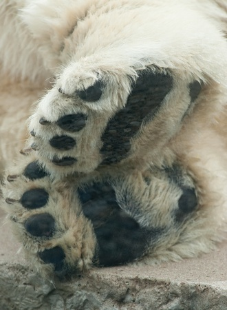 a macro of a polar bears paws