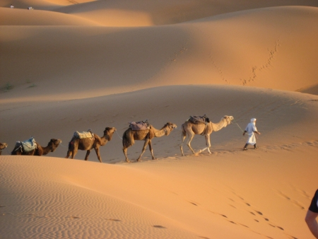 Berber man leading camels through the Sahara Desert