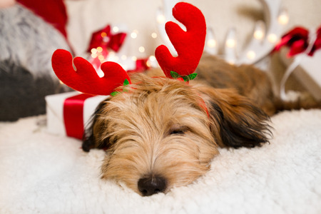 Photo pour Lovely, cute puppy with reindeer antlers obediently sitting next to Christmas presents, gift boxes with red ribbons on white, fluffy, cozy blanket. Glowing reindeer decoration and fairy lights. - image libre de droit