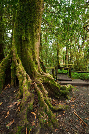 Tropical misty rainforest landscape of outdoor park with big tree roots jungle plants and w