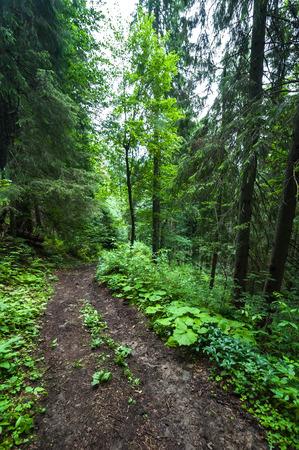 Trekking trail leading through summer landscape of pine tree highland forest at Carpathian m