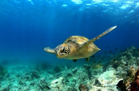 Foto de Green sea turtle swimming underwater - Imagen libre de derechos