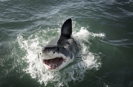 Great white shark (Carcharodon carcharias) breaching on ocean surface