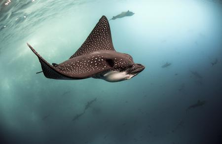 Photo pour Spotted eagle rays (Aetobatus narinari) swimming underwater, Galapagos Islands - image libre de droit