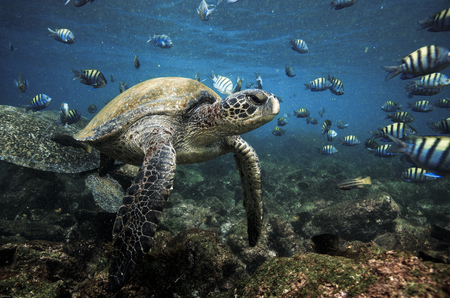 Photo pour Green sea turtles and sergeant major fish, Galapagos Islands - image libre de droit