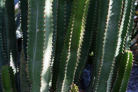 Euphorbia canariersis cactus succulent plant
