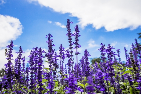 Photo pour Lavender flower  - image libre de droit