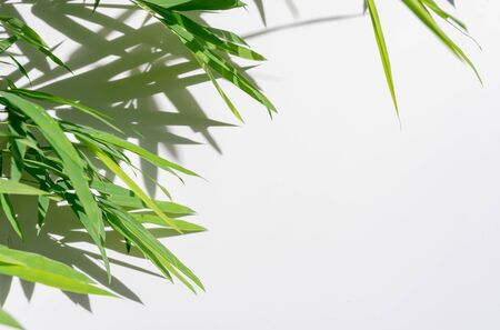 Photo pour green leaf bamboo and shadows on white background - image libre de droit
