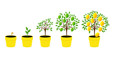 Ilustración de Dynamics lemon tree with green leaves. Vector illustration of a phase of plant growth. Flat style. Set of plant growth lemon in pot. - Imagen libre de derechos