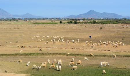Foto de Sheep on grass at sunny day in Phan Rang, Vietnam. - Imagen libre de derechos