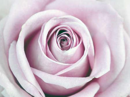 Photo pour Beautiful pink rose macro background, holiday concept - image libre de droit