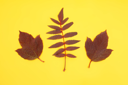 set of rowan and maple leaves on the yellow backround