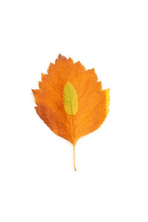 orange bright maple leaves closeup