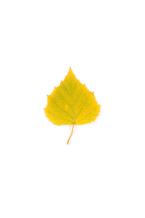 yellow and green bright birch leaf closeup
