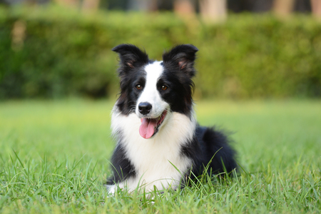 Foto de Border Collie on the grass - Imagen libre de derechos