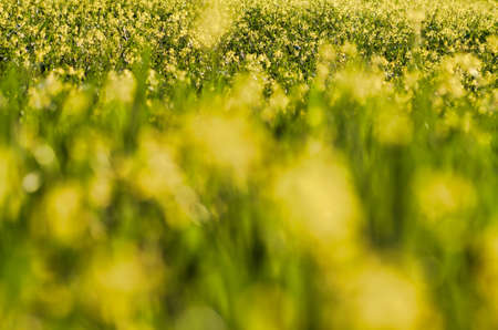 Photo pour whole field of yellow flowers in springtime, focus in the background - image libre de droit