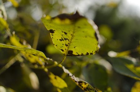 diseased leaf