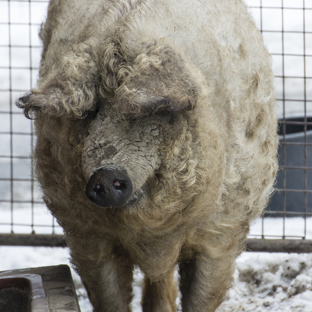 Home pig with winter coat outside with snow.