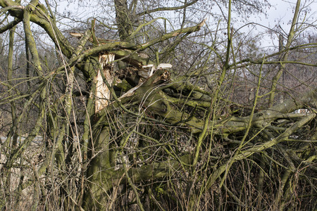 Broken tree after the wind.