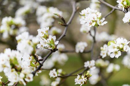 Photo pour Pear blossoms on a twig. - image libre de droit