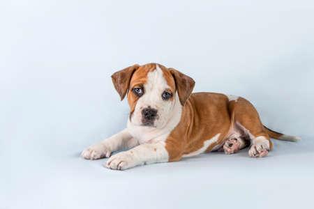 Photo pour Studio portrait funny cute puppy American Staffordshire Terrier on light blue background, close-up - image libre de droit