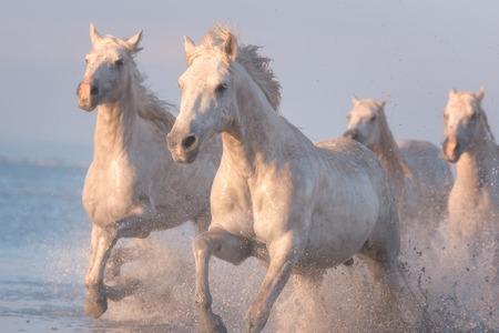 Photo pour White horses run gallop in water at sunset, Camargue, Bouches-du-rhone, France - image libre de droit
