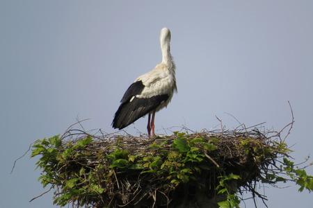 Cigogne sur son nid en Alsace