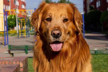 Foto de Dog Golden Retriever in a sunny day, Bogotá Colombia, January 7, 2020 - Imagen libre de derechos