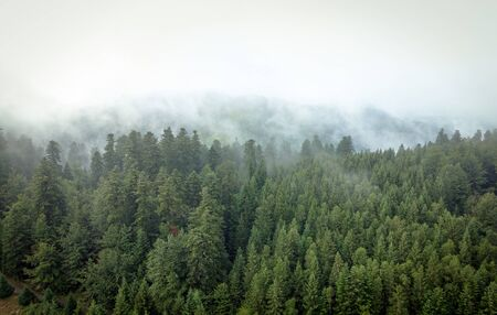 Misty mountain forest with spruces