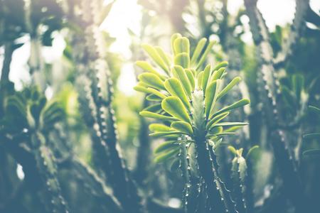 Natural background Cactus green. Euphorbia neriifolia L.
