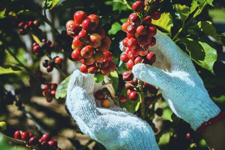 Photo pour Coffee tree with coffee beans on coffee plantation,How to harvest coffee beans. - image libre de droit