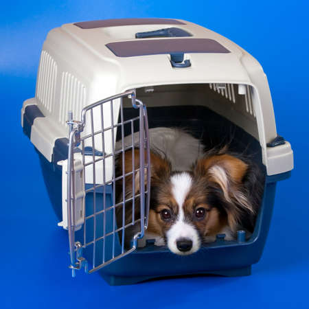 Young dog papillon and a plastic carrier