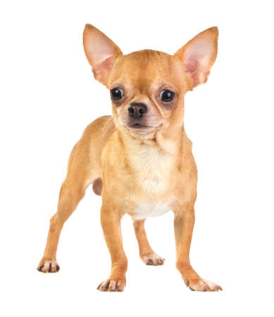 Short coat chihuahua on a white background
